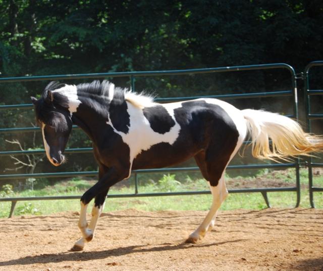 Black Paso Fino Horses